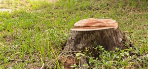 Why You Should Remove That Old Tree Stump