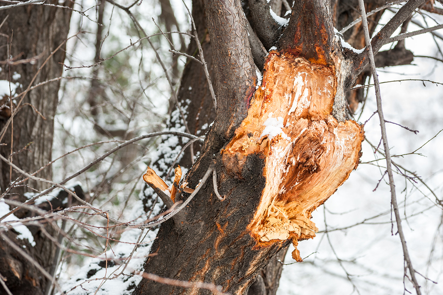 Assessing Winter Damage to Your Trees