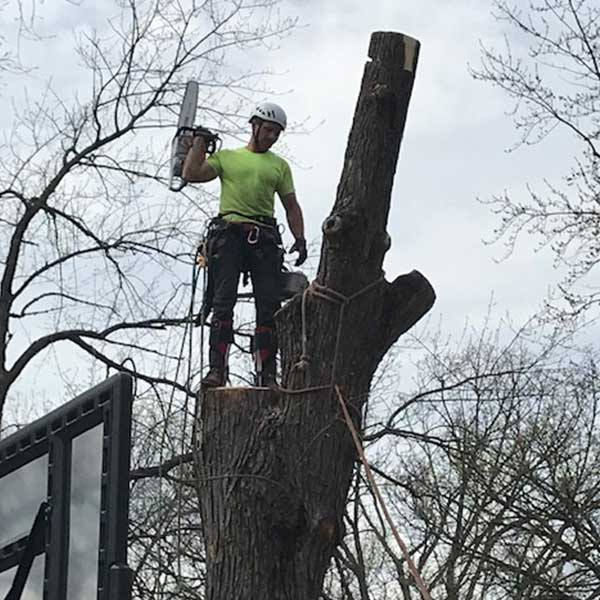 a tree cutting specialist cutting down a tree.